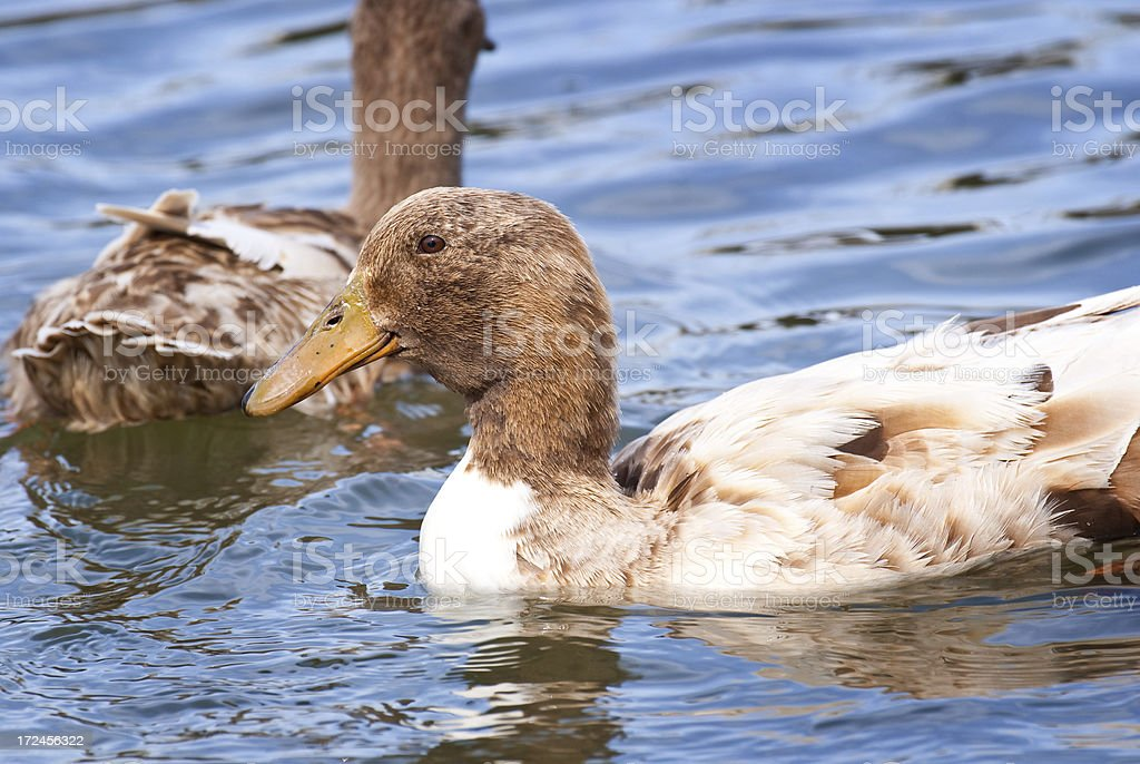 Swimming Duck royalty-free stock photo