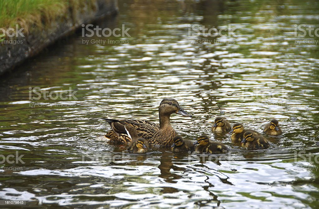 Swimming Ducklings and Mum royalty-free stock photo