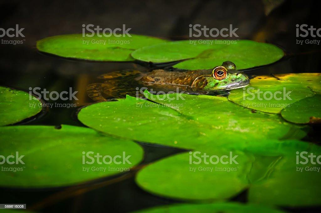 Swimming Frog stock photo