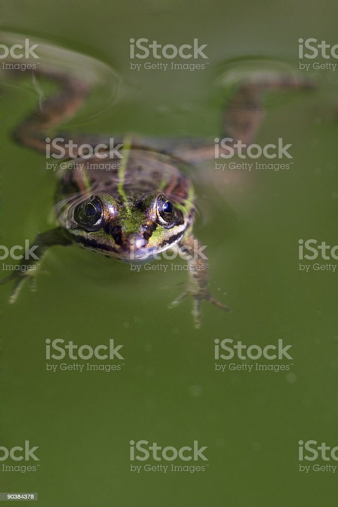 swimming frog royalty-free stock photo