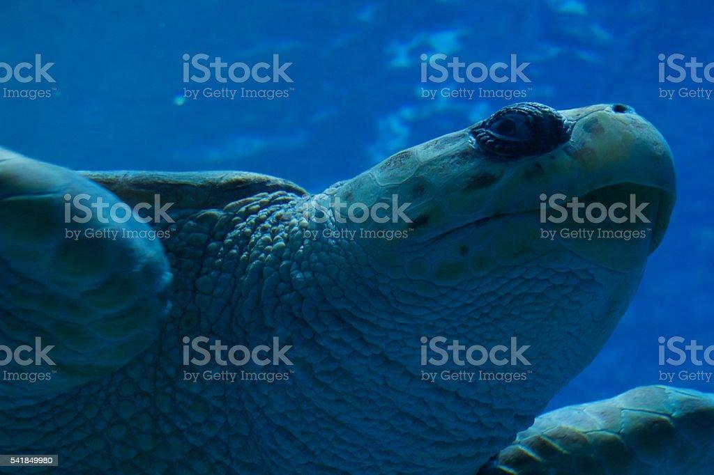 Swimming Giant Sea Turtle stock photo