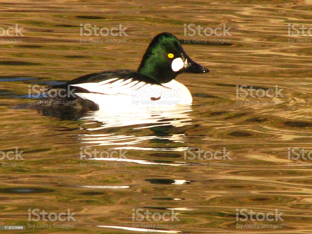 A beautiful image of a male Common Goldeneye duck gliding through the...