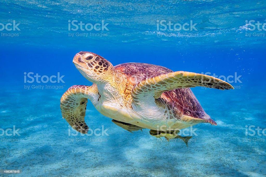 Swimming Green sea turtle on Red Sea - Marsa Alam stock photo