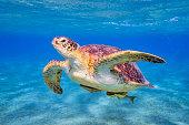 Swimming Green sea turtle on Red Sea - Marsa Alam