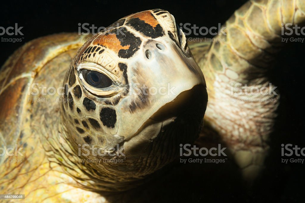 Swimming Green Turtle Portrait by Night, Komodo National Park, Indonesia stock photo