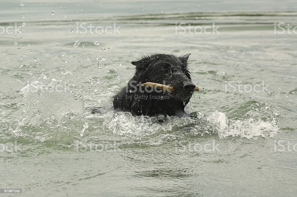swimming groenendael royalty-free stock photo
