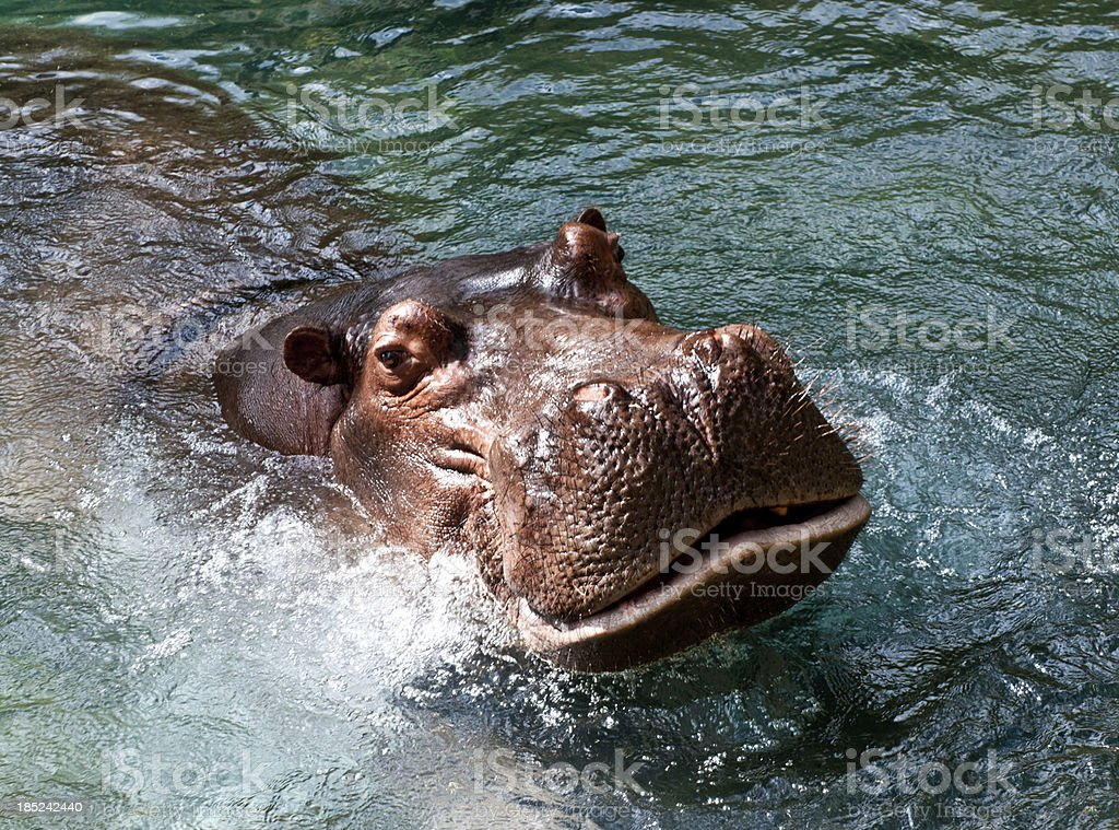 Swimming Hippopotamus stock photo