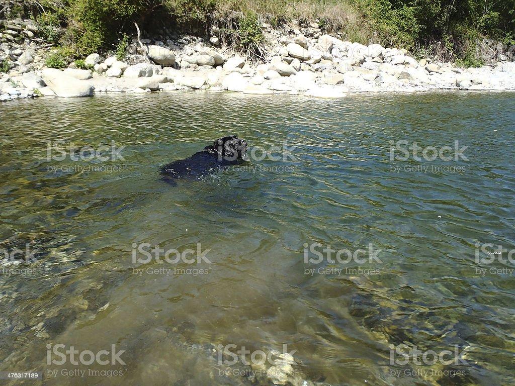 Swimming labrador stock photo
