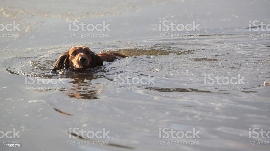 Swimming long haired badger dog stock photo
