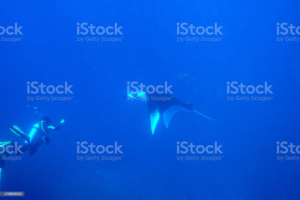 Swimming Manta Ray under water in Similan Islands, thailand stock photo