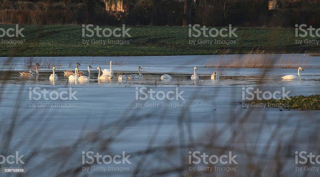 Swimming Mute Swans stock photo