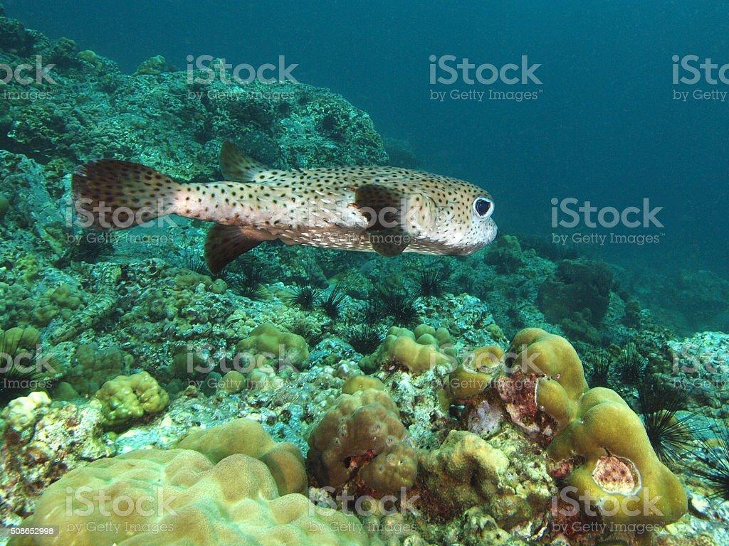 Swimming porcupine fish stock photo