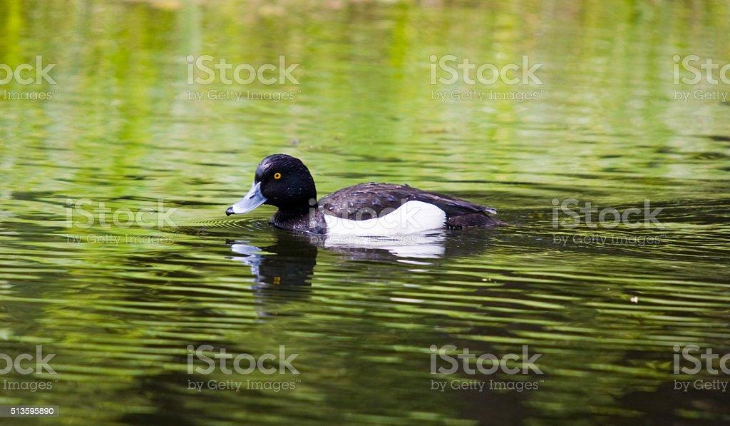 swimming reiherente stock photo