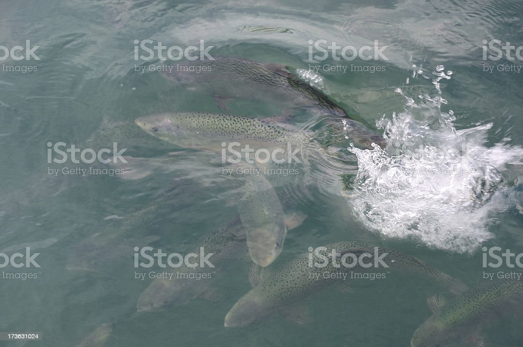 Swimming Salmon stock photo