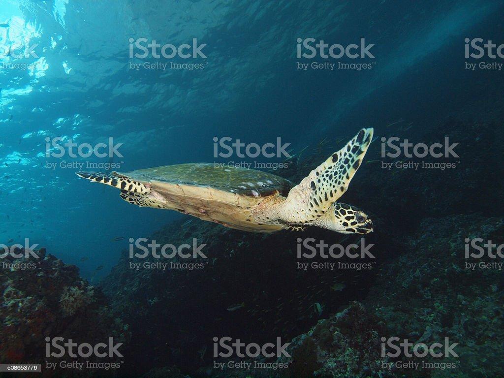 swimming sea turtle stock photo