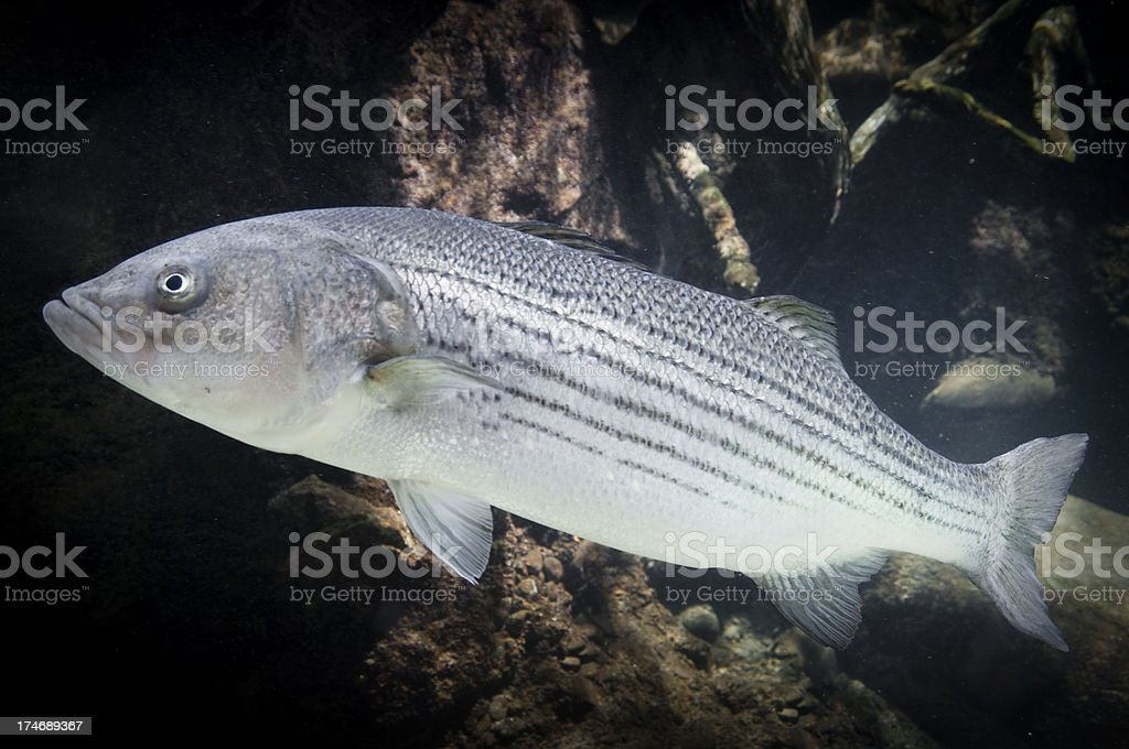 Swimming Striped Bass royalty-free stock photo