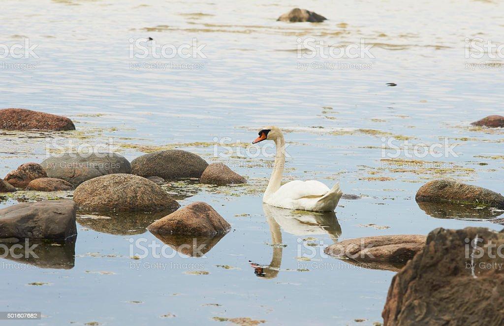 Swimming swan on the seaside stock photo