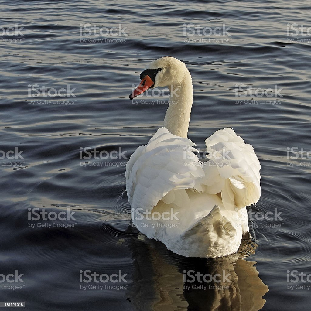 Swimming swan. royalty-free stock photo