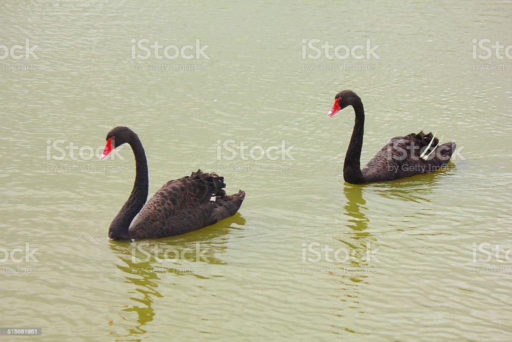Swimming Swan stock photo