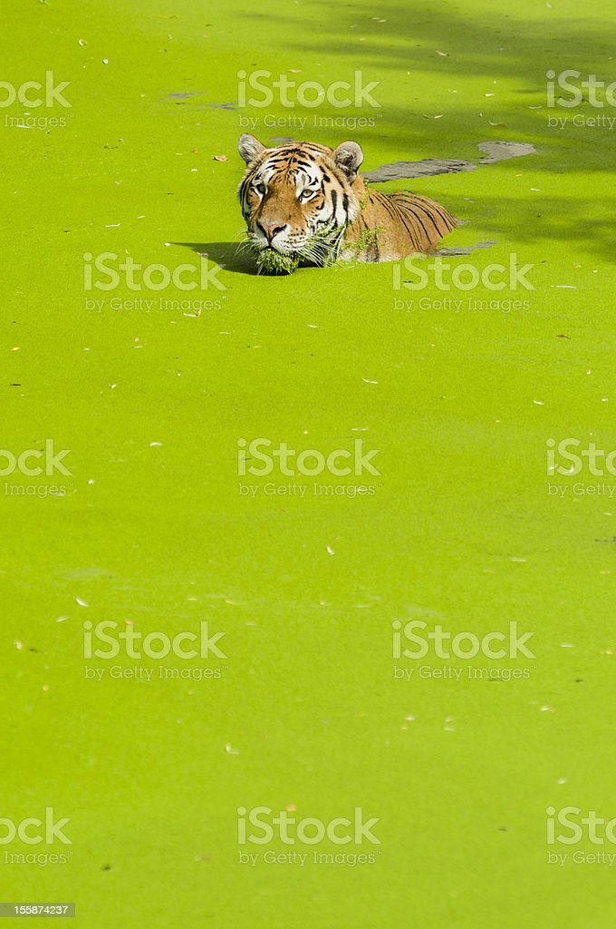 Swimming tiger royalty-free stock photo