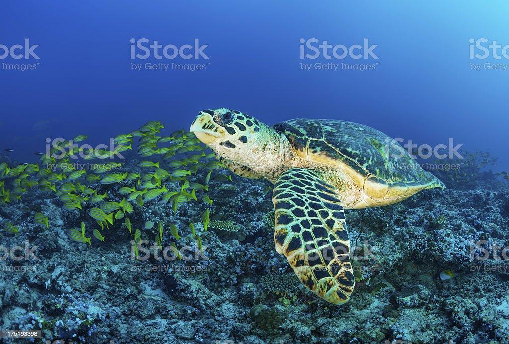 Swimming turtle royalty-free stock photo