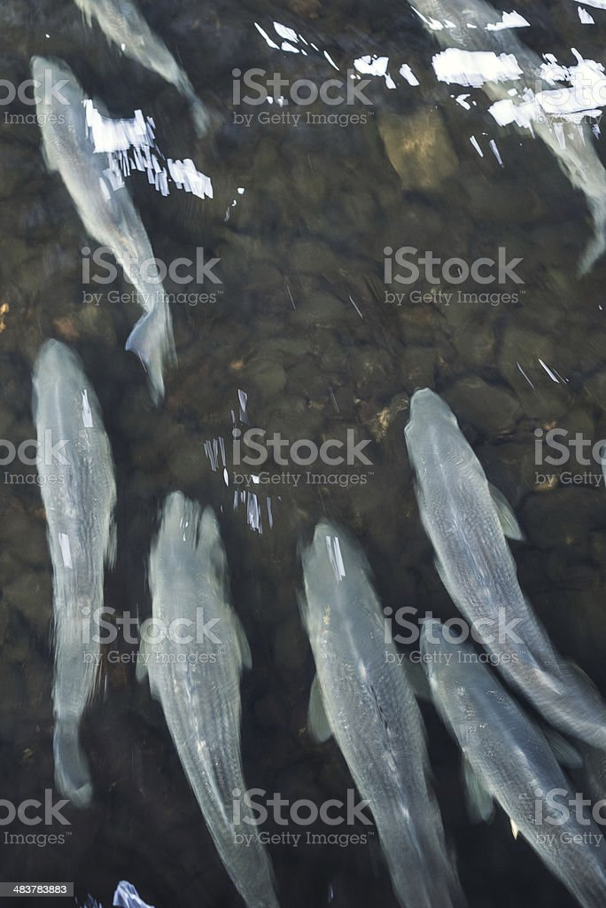 Swimming Upstream royalty-free stock photo