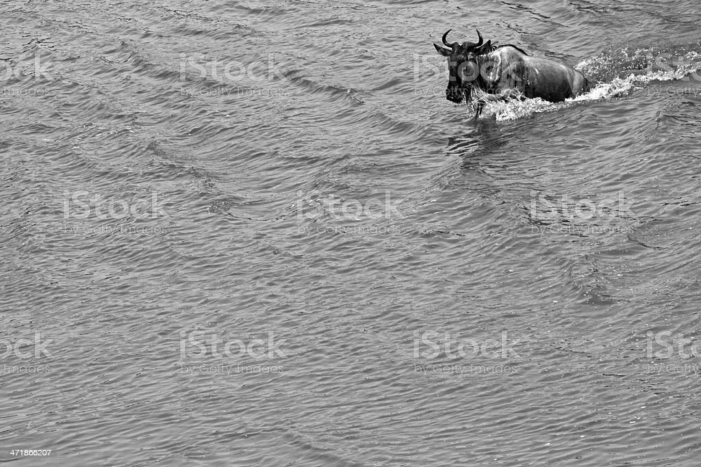 Swimming wildebeest royalty-free stock photo