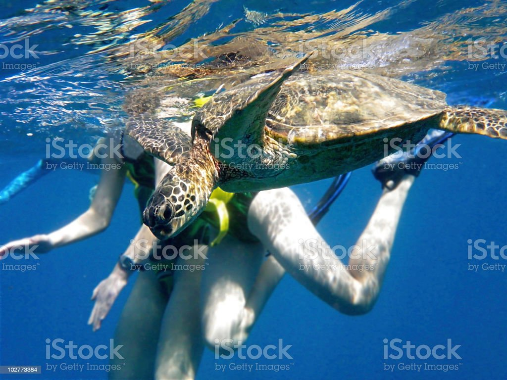 Swimming with a wild green turtle in Hawaii royalty-free stock photo