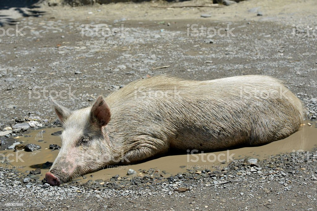 swine in puddle stock photo