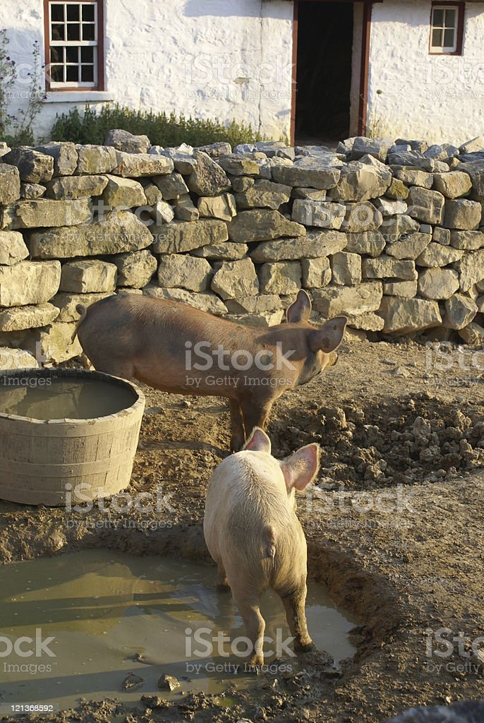Swine stock photo