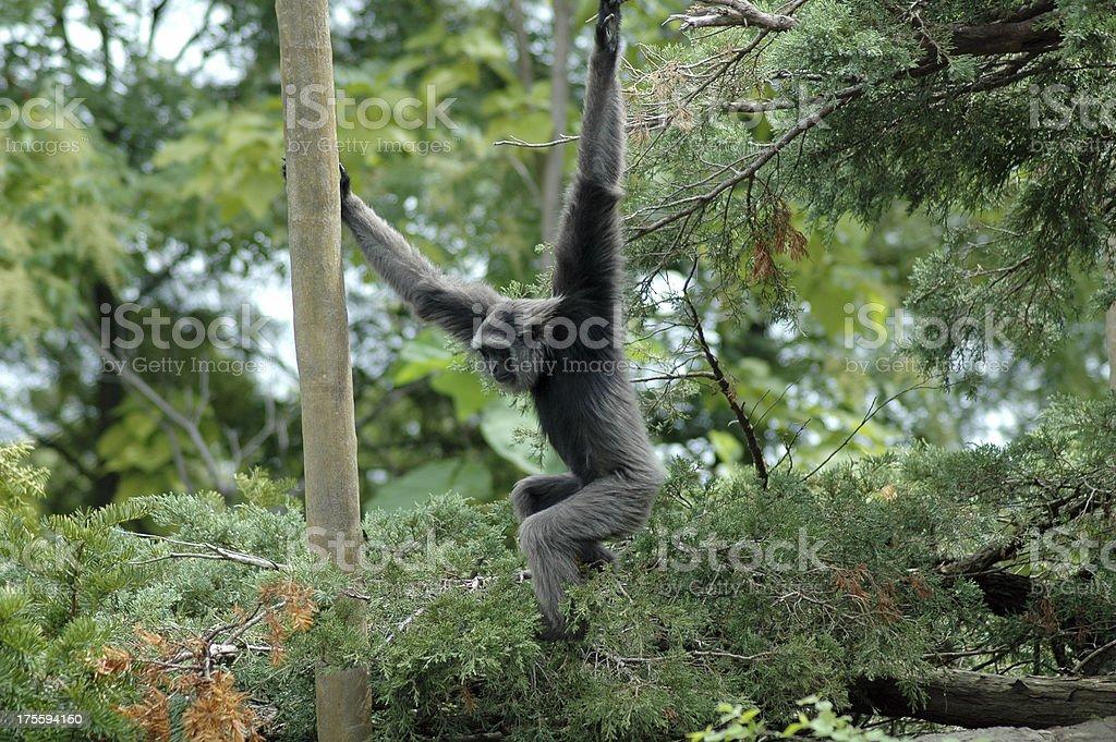 swinging monkey royalty-free stock photo