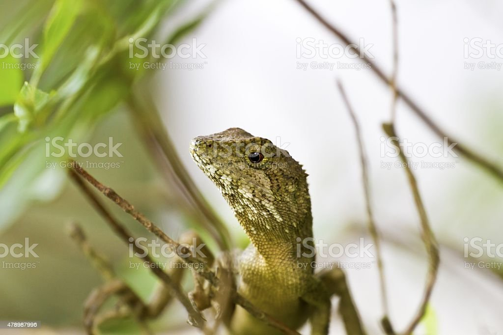 Swinhoe's tree lizard , Japalura swinhonis stock photo