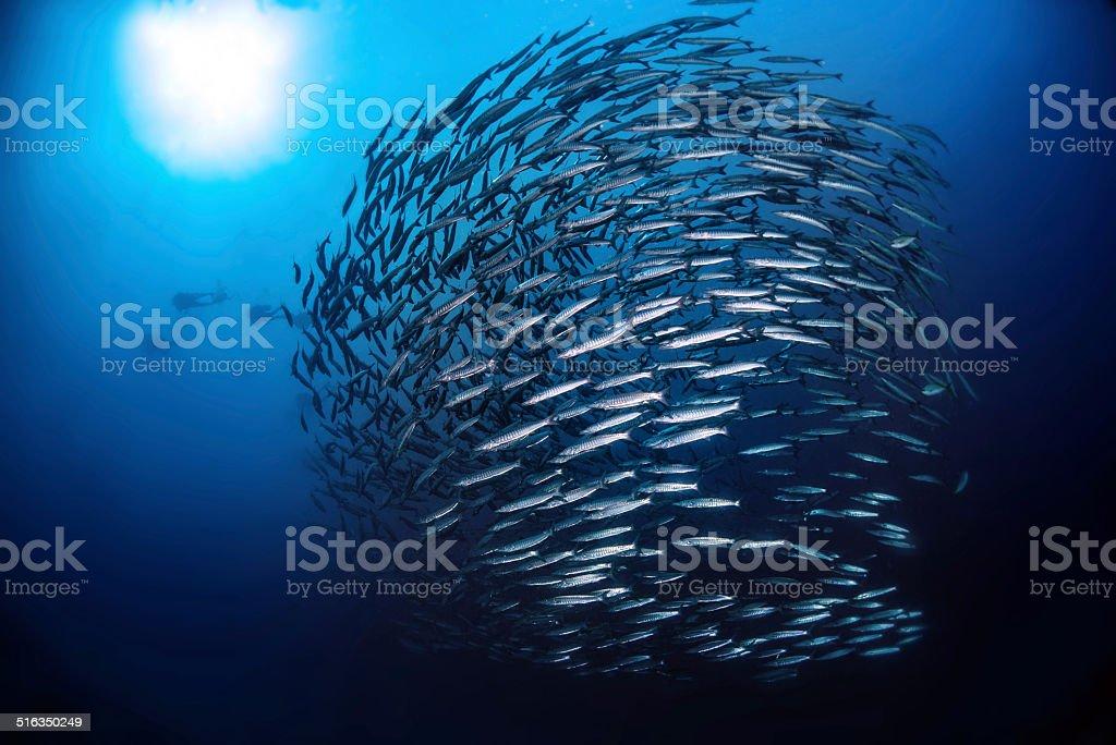 Swirl Of Fish Barracuda with sun light stock photo