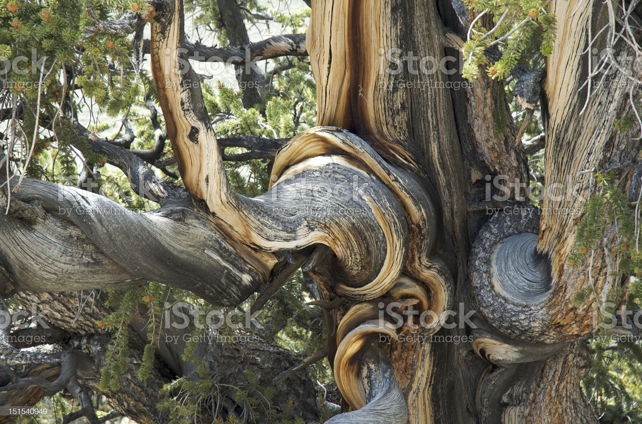 Swirls and Whorls in the Ancient Bristlecone Pine Forest royalty-free stock photo