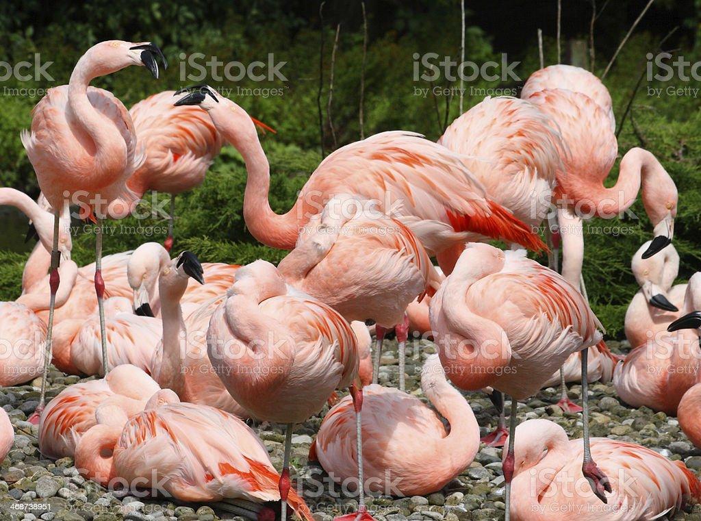 Swirly Flamingoes royalty-free stock photo