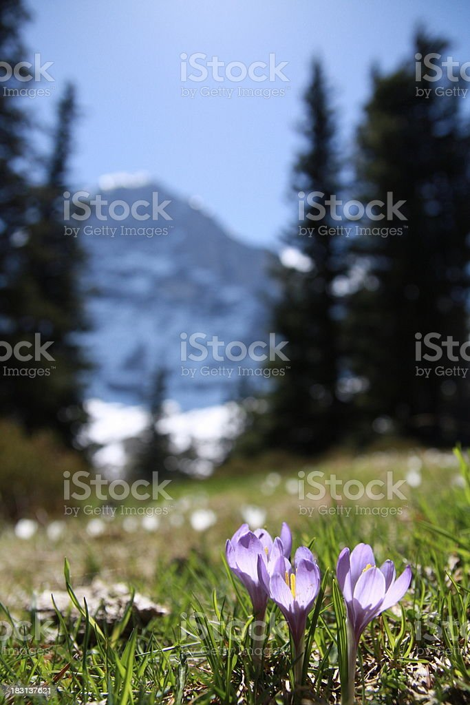 Swiss Alpine Meadows with Eiger royalty-free stock photo