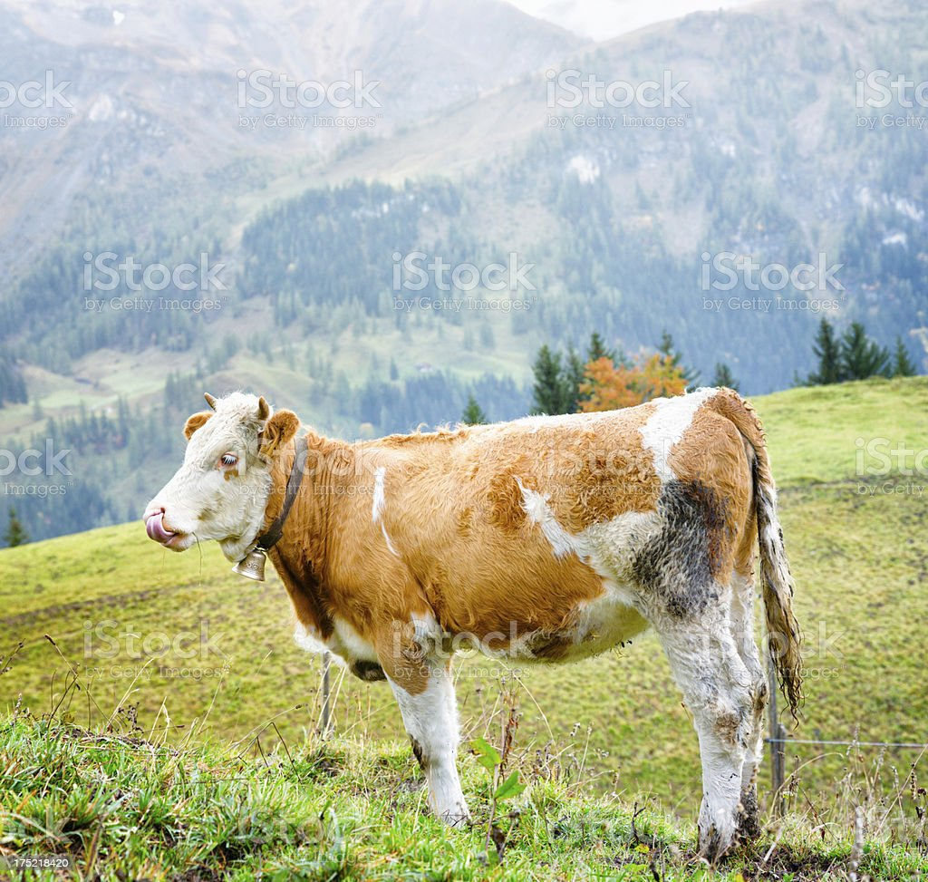 Swiss Alpine Simmental Cow licking her snout stock photo