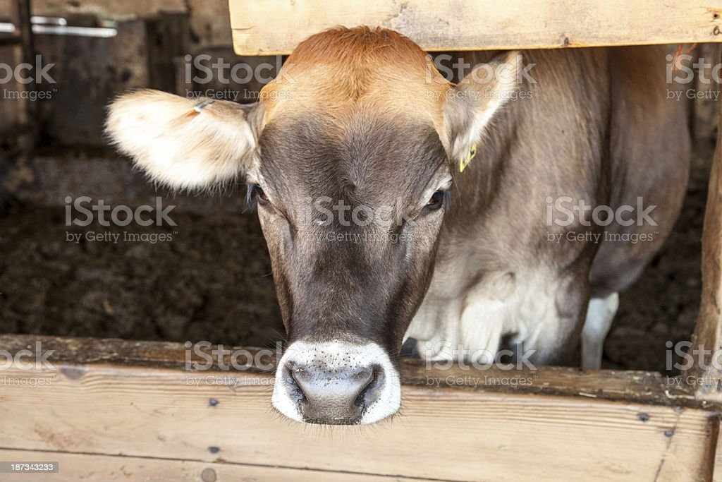 Swiss Braunvieh I royalty-free stock photo
