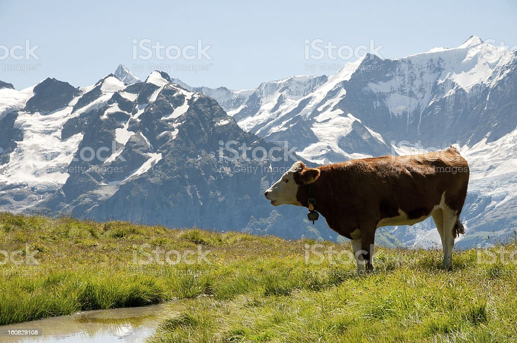 Swiss bull stock photo