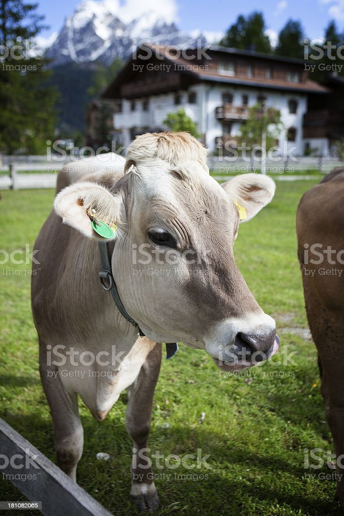 Swiss Cattles on the meadow, Alto Adige royalty-free stock photo