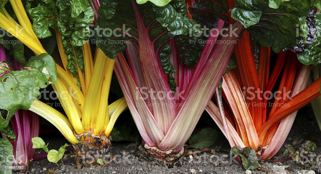 Swiss Chard stock photo