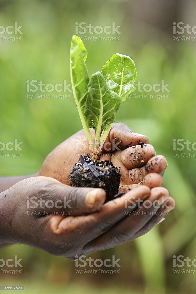 Swiss Chard Seedling in Hand royalty-free stock photo