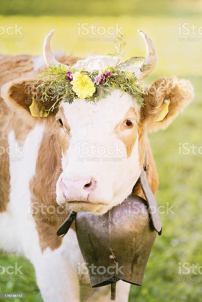 Swiss cow beauty shot royalty-free stock photo