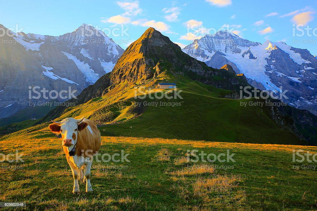 Swiss Cow, Monch and Jungfrau, Bernese Oberland Swiss Alps stock photo