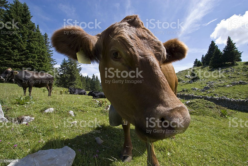 Swiss cow (funny perspective with wideangle) royalty-free stock photo