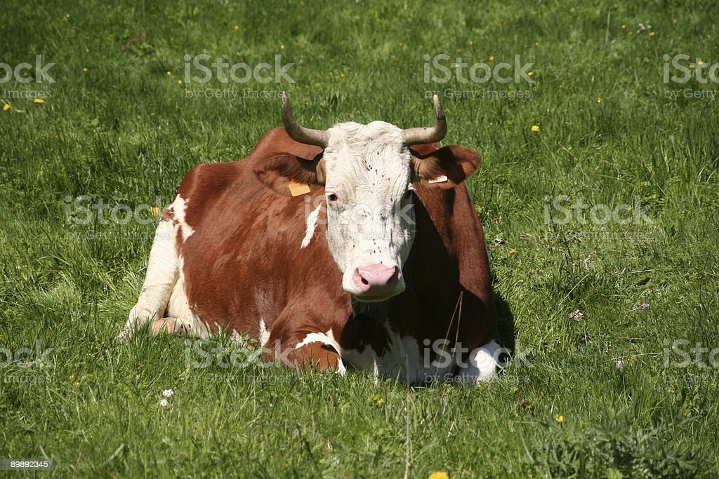 Swiss Cow royalty-free stock photo