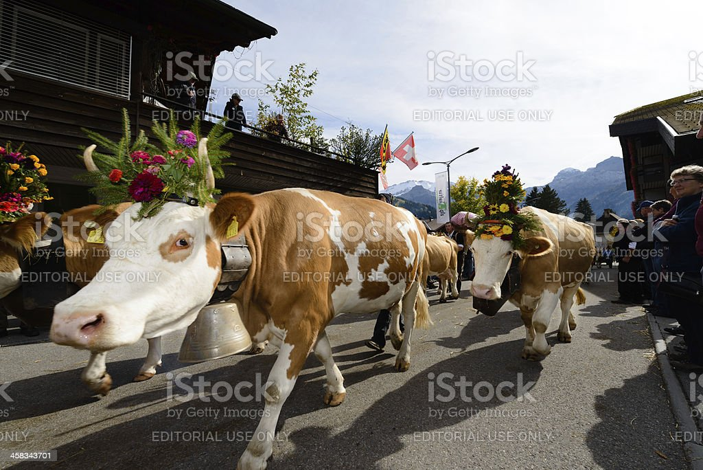 Swiss cows after alp-descent stock photo