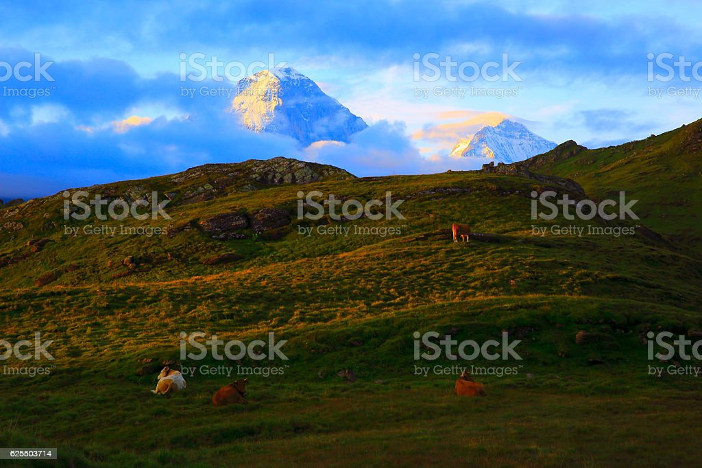 Swiss Cows feeding and resting, Grindelwald, Bernese Oberland Swiss Alps stock photo