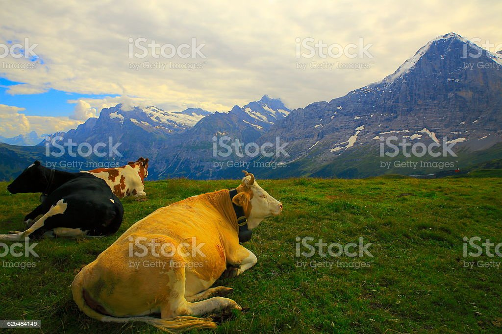 Swiss Cows herd resting under Eiger, above Grindelwald valley: Swiss Alps stock photo