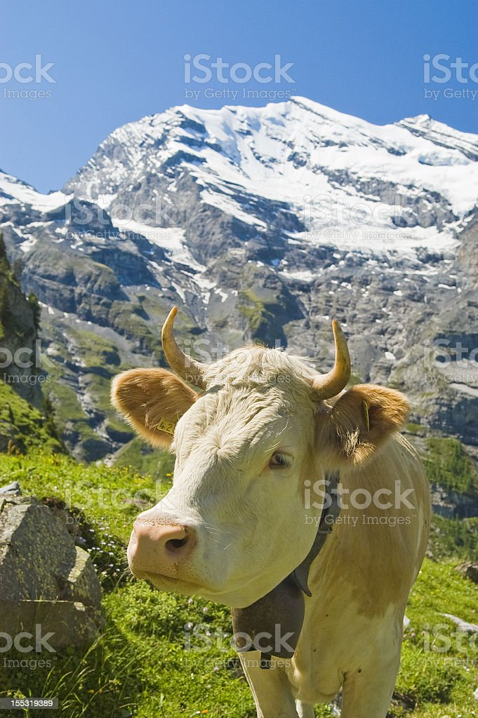 Swiss cows in the high pasture royalty-free stock photo